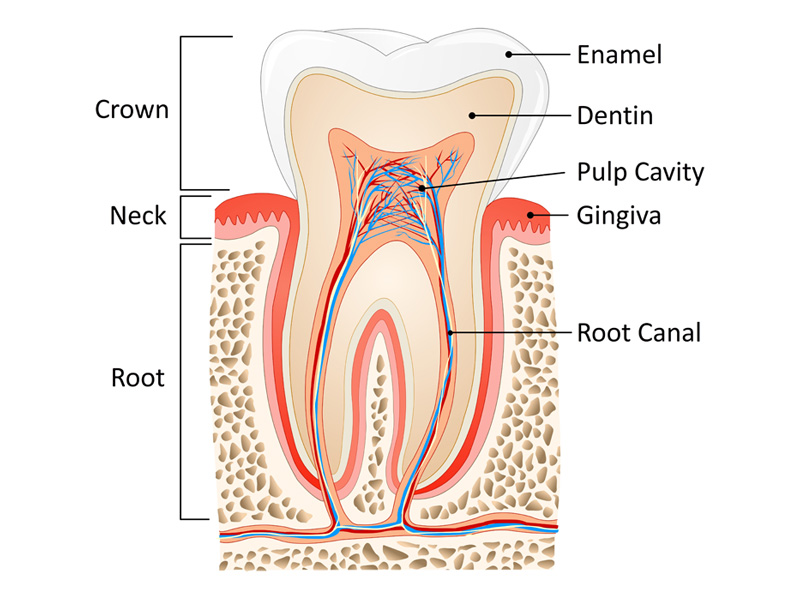 dentist tooth anatomy